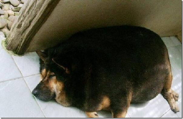 perro-gordo-02